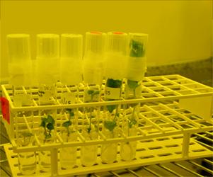 Micropropagated potato plantlets